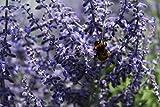 Blauraute, Silberstrauch, Perovskie 'Lacey Blue'® - starke Pflanze im grossen 5lt Topf