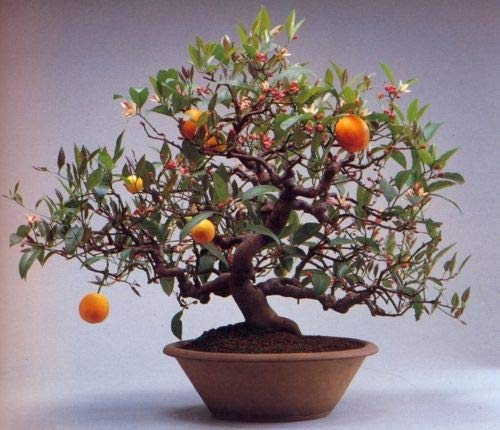 Calamondin-Orange cm Zitruspflanze