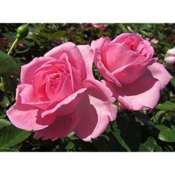 Millie 4lt potted hybrid tea rose bush highly fragrant large millie 4lt potted hybrid tea rose bush highly fragrant large pink flowers mightylinksfo