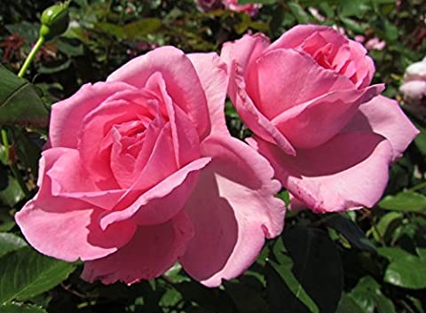 MUM IN A MILLION - 4LT Potted Hybrid Tea Garden Rose Bush - Highly Fragrant, Pink - Great Gift, Mother's Day Rose