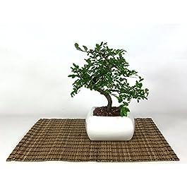 Bonsai di Olmo in vaso quadro bianco cm. 15