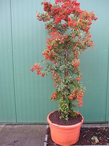 Pyracantha coccinea Red Column - Feuerdorn Red Column