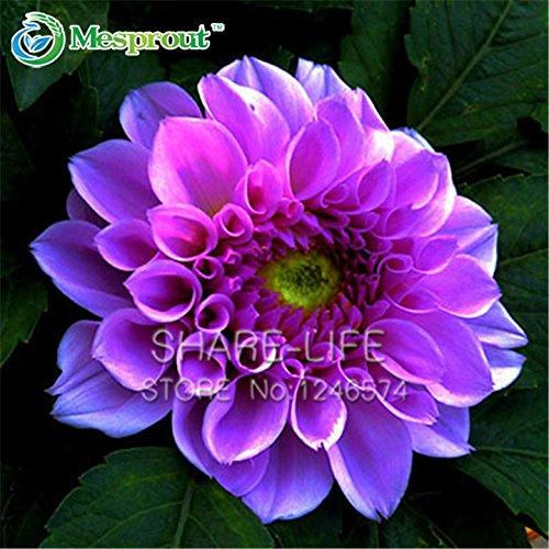Bord Violet Blanc Dahlia Graines, 100% Really Graines Dahlia Bonsai plantes fleur bricolage jardin Fleur 50 particules / lot