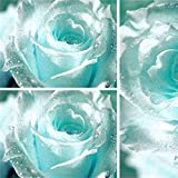 Soteer Garten- Seltene Hellblau Rose Blumensamen Edelrose Samen Gartenpflanze für Ihr Garten Balkon Lange Blütezeit winterhart