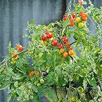 Shop Meeko Tomato - Lizzano - 10 Samen