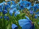Portal Cool Meconopsis betonicifolia Rare Scelta Himalayan Blue Poppy Striking a Colori 10% di Sconto