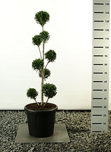 Lebensbaum Formschnitt - Thuja plicata `Martin´ - verschiedene Größen (125-150cm - Topf Ø 36cm -20Ltr. - MULTIKUGEL)