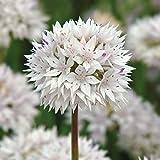 """10x Allium """"Graceful"""" Mehrjähriger Zierlauch mit Weißen Blüten"""