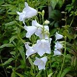 Pfirsichblättrige Glockenblume ( Campanula persicif. ) weiß Tb9