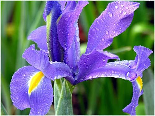 Portal cool 20 blue magic dutch iris lampadina corm discreta bella primavera estate fiore perenne