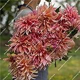 100 Pcs Dahlien Bio riesen faszinierende Balkonkasten-Blumenm winterhart mehrjährig dahlien Pflanze bulb exotische Blumensamen Sommer Blumen Samen (13)