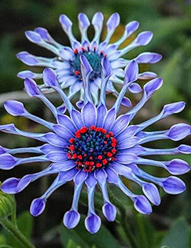 kisshes giardino - margherite del prato del nontiscordardime semi di fiori semi di bluestar piante ornamentali