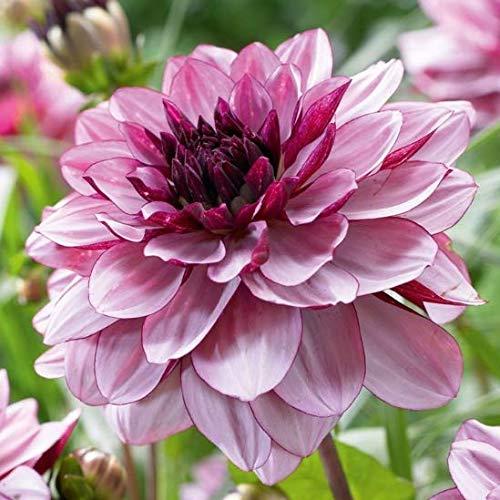 Qulista Samenhaus - 20pcs Rarität Seerosen-Dahlie pastellfarben/schwarzrot/lachsroa, Bienenmagnet Blumensamen Mischung winterhart mehrjährig