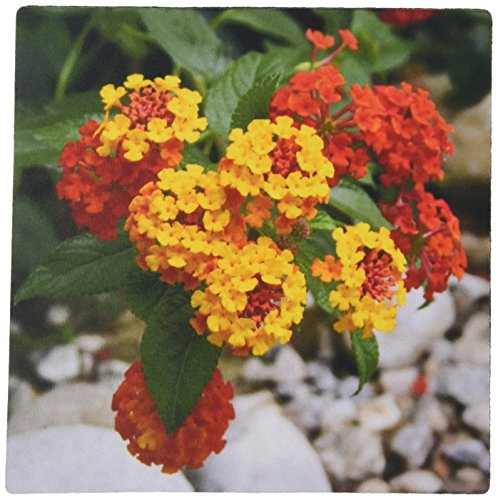 3drose-llc-8-x-8-x-025-inches-mouse-pad-red-and-gold-lantana-flower-flowers-lantana-plant-plants-shr