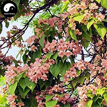 ASTONISH Erstauner SEEDS: Kaufen Catalpa Bungei Baumsamen 120pcs Pflanze Catalpa Baum für Qiu Shu