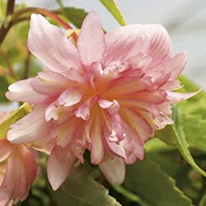 Lot de 3 Bégonia retombant Belleconia Apricot Blush