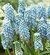 Humphreys Garden® Muscari Peppermint x 25 Bulbs