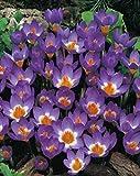 50 Botanische Krokusse sieberi Tricolor Blumenzwiebeln Crocus