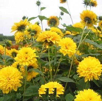 lichtnelke - Staudensonnenblume METEOR (Helianthus decapetalus) Tb9 von Lichtnelke Pflanzenversand auf Du und dein Garten