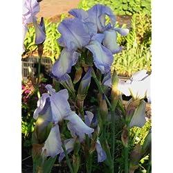Staudenkulturen Wauschkuhn Iris barbata elatior 'Blue Shimmer' - Hohe Bartiris - Staude im 11cm Topf