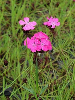 Dianthus carthusianorum - Karthäusernelke, 24 Pflanzen im 5/6 cm Topf von Dachstauden bei Du und dein Garten