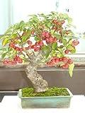 Portal Cool Malus sylvestris - Bonsai 30 Samen - Sow All Year