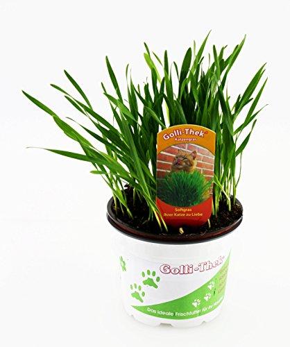 Katzengras soft - Weizengras - Futterweizen - Triticum