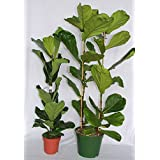 Ficus Lyrata o ficus lira (80-100 cm (1 vara)) - Planta viva de interior