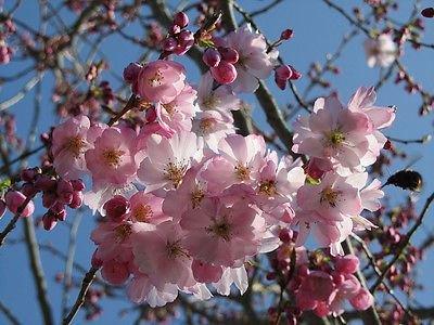 prunus-accolade-flowering-cherry-plant-in-9cm-pot