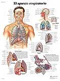 3B Scientific VR3322UU Impreso En Papel, el Aparato Respiratorio