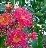 SwansGreen 4: Heißer Verkauf! 60 Stück Regenbogen Eucalyptus Deglupta, Stauden Angiospermen Pflanzen Blumensamen, Eukalyptusbaum Pflanze für Garten Werk 4