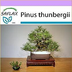 SAFLAX - Bonsai - Japanische Schwarzkiefer - 30 Samen - Pinus thunbergii