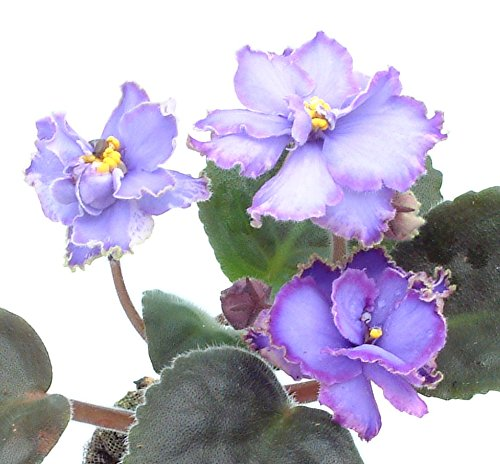 collection-of-five-different-african-violet-plug-plants
