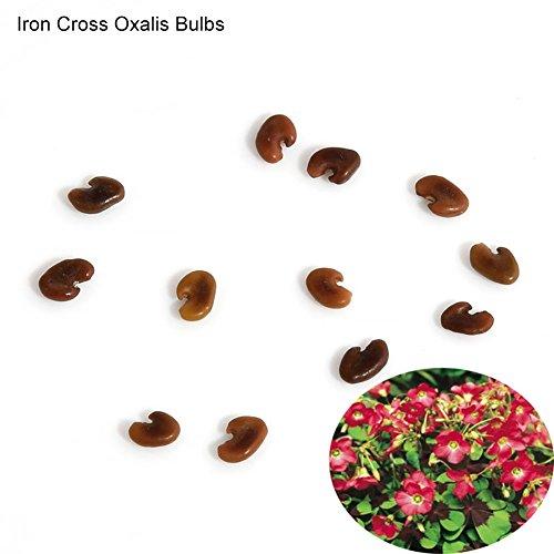 KimcHisxXv Blumensamen, 10 Stk. Shamrock Oxalis Triangularis Zwiebeln Einfach zu pflanzende Blumensamen - Iron Cross Oxalis Zwiebeln -