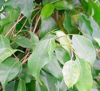 Ficus Benjamín 120 - 150 cm - Planta viva interior