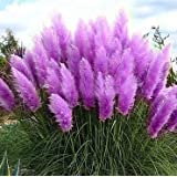 500 PCS Pampas herbe Graines Cortaderia Belle bricolage jardin des plantes faciles à cultiver Haute Germination (Rose Blanc Jaune Violet)