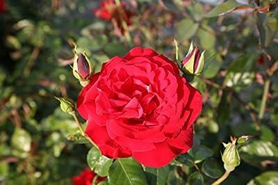 Strauchrose 'Grandhotel' -R- ADR-Rose im 4 L Container von Rosen-Union eG. - Du und dein Garten