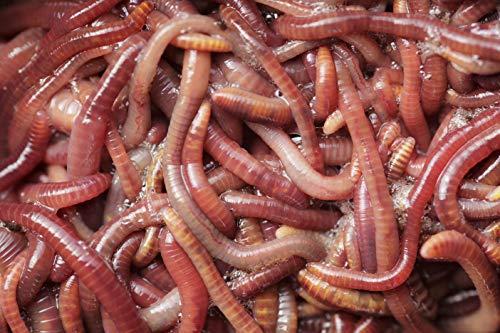 Kompostwürmer Kaufen 250 Stück Kompostbeschleuniger Regenwürmer Garten Eisenia Mix Wurmkomposter Wurmfarm Regenwürmer Wurmkiste Lebend