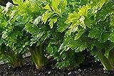 Semillas de Nugget de apio - Apium graveolens