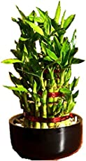 Floral Fantasy Lucky Bamboo Indoor Plant For Feng Shui - 3 Layer