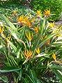 TROPICA - Paradiesvogelblume (reginae) (Strelitzia reginae) - 5 Samen von TROPICA bei Du und dein Garten
