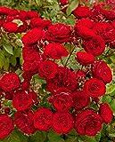 Arbusto roseto fiori da esterno ROSA PORCELLANA
