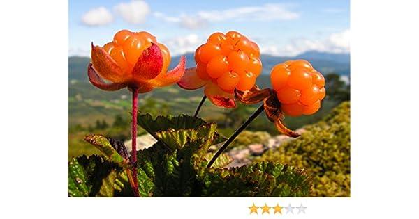 5+ seeds Cloudberry Rubus Chamaemorus LUXURIOUS and RARE!