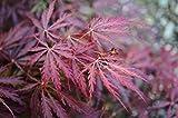 Acer palmatum Garnet- roter japanischer Fächerahorn - der meistverkaufte Ahorn WELTWEIT verschiedene Größen (50-60cm - 3ltr.)