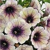 RETS 500pcs / Bag Picotee Correhuela Azul s RARA seedss Petunia, Bonsai seedss Flor, para el hogar jardín fácil de Cultivar Flores: mix-100