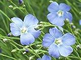 Heirloom 800Samen Linum usitatissimum blau mehrjährig Öl Flachs Prairie Blume Bulk Samen S078