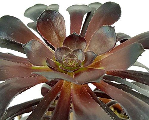 Aeonium arboreum var. atropurpureum - schwarzes Rosetten Dickblatt - zauberhafte Kanarenrose für den sonnigen Fensterplatz