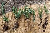 Portal Cool 6 Wilde/Native Gemeinsame Ginster Pflanzen, Ulex Europaeus schnell wachsenden 5-10cm