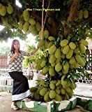 #9: Vamsha Nature Care Live Jack Fruit Tree Rare - Tropical 1 Healthy Plant - ' Dwarf Jackfruit ' Early Fruit Bearing Variety Bud Plant