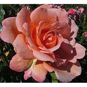 Strong Fragrance 5.5lt Potted Shrub or Climbing Garden Rose WILD ROVER Purple//Burgundy Blooms